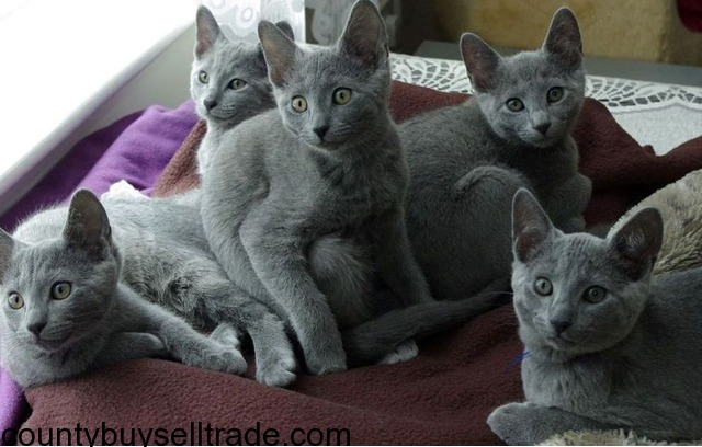Blue Kittens For Sale : Russian blue kittens available now for sale in sacramento